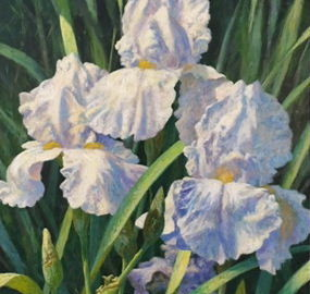 Bearded Iris (Flags)